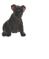 $185.00 Appaloosa mini puppy