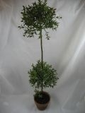 $42.50 Double Myrtle Topiary